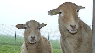 Bild von zwei Schafen