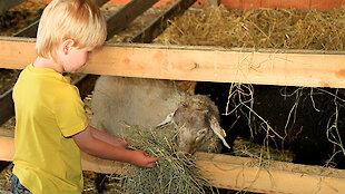 Kind füttert ein Schaf